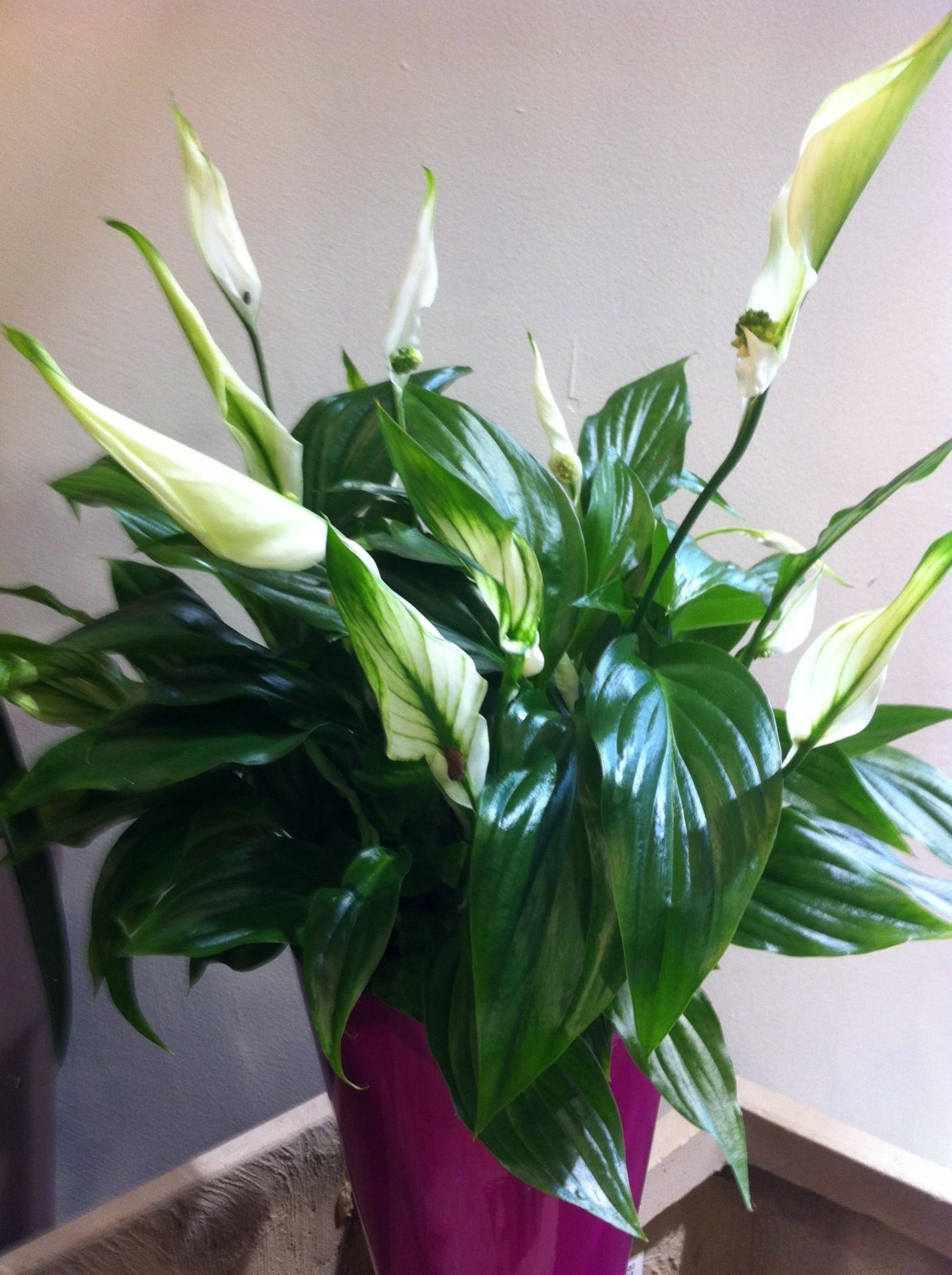 Plantes vertes et fleuries aux passiflores for Plantes vertes a fleurs